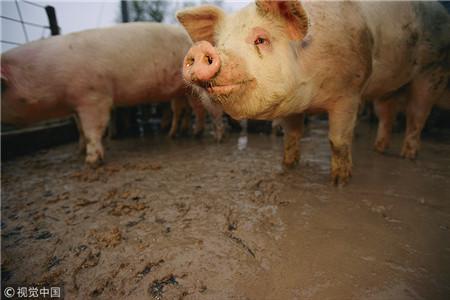 如何才能真正有效降低养猪成本 提高饲养效益