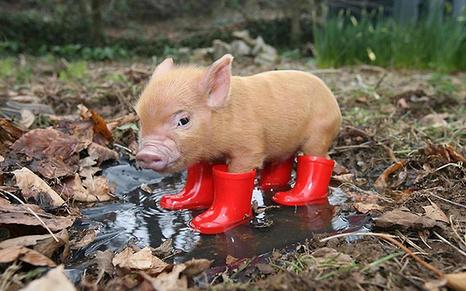 猪场设备有:猪栏、漏缝地板、饲料供给及饲 喂设备、 供水及饮水设备、 供热保温设 备、通风降温设备、清洁消毒设备、粪 便 处理设备、监测仪器及运输设备。