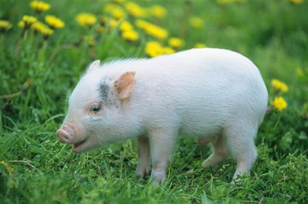 如何用标准化的生产流程管理技术提高猪的育种繁殖技术?