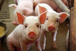 【饲养管理】后备种猪舍管理技巧