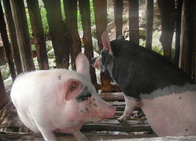 """猪场留不住人,仅仅是""""差钱""""?"""