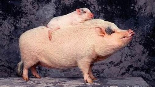 2018年4月10日,据猪讯网统计今日全国生猪价格整体继续小幅上涨。今天全国生猪报价主要以稳为主,屠企跟养殖户搏弈开始增强