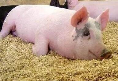 关于猪场用药你不知道的五大禁忌,太经典了!