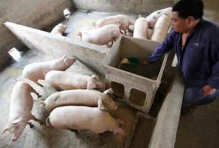 母猪奶水不足和猪身上长痘痘的,这里有妙招!