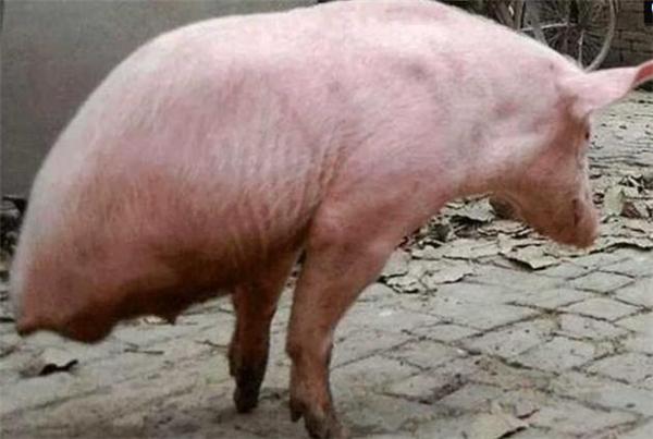 """猪届""""猪坚强""""!仅靠两条腿的猪自学成才~"""
