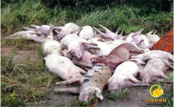 猪场火灾致5千猪死亡 焦黑尸体堆成小山损失1500万