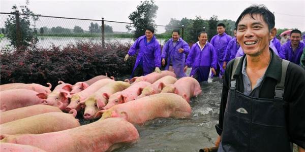 """安徽""""诀别猪""""死里逃生现场,人力抬猪出猪圈!"""