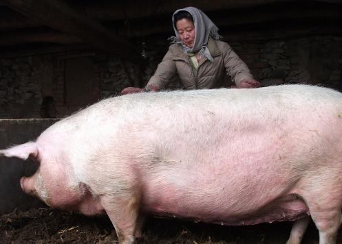 价格低迷,饲料暴涨,养猪人还能翻身吗?
