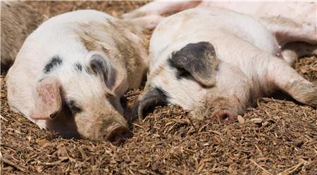 母猪产褥热的症状及治疗方法是什么?