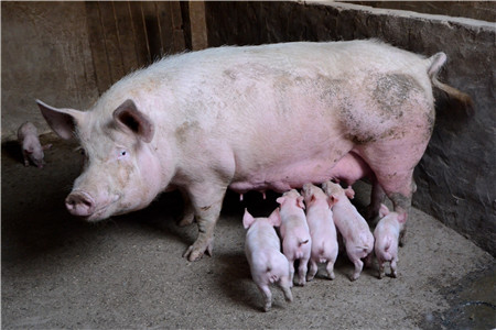 夏季猪场这几种病都有同一相似症状,千万别搞错了!