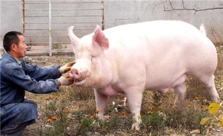 治疗猪鼻炎,教你一招简单又实用!