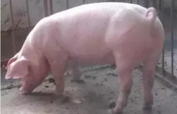 99%的人这样挑选后备母猪,你做到了吗?