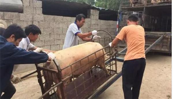 农村卖猪场景实拍!