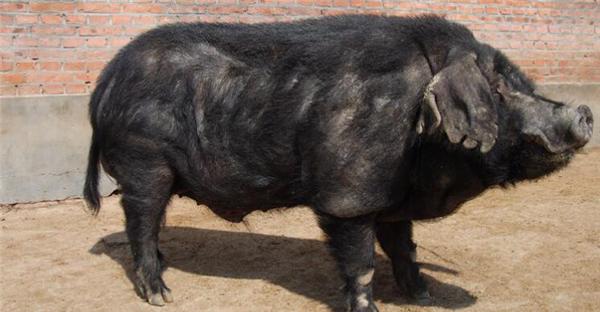 1、东北民猪是东北地区的一个古老的地方猪种,有大(大民猪)、中(二民猪)、小(荷包猪)三种类型。除少数边远地区农村养有少量大型和小型民猪外,群众主要饲养中型民猪。