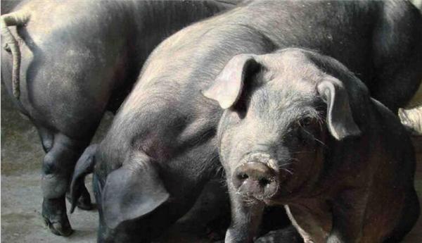 东三省的骄傲:东北民猪,东北地区古老猪种,世界猪品种排行第四!