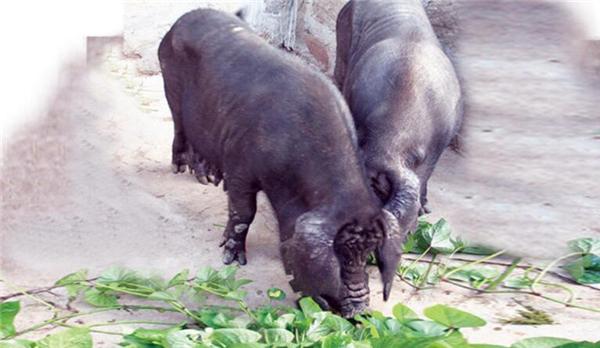 4、东北民猪全身的毛为黑色。体质强健,头中等大。面直长,耳大下垂。背腰较平、单脊,乳头7对以上。四肢粗壮,后躯斜窄,猪鬃良好,冬季密生棕红色 绒毛。