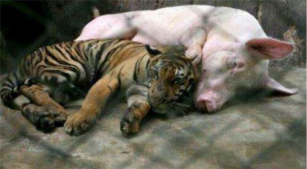 老虎把猪当妈妈,吃猪奶和猪睡觉...