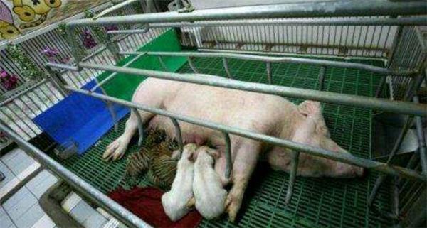 2、一起和小猪喝猪奶