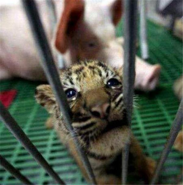 5、看着被抛弃的小老虎,觉得挺可怜的
