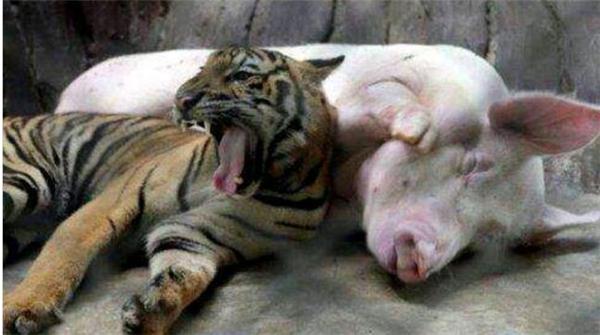 4、小老虎长大后会不会和猪一样呢
