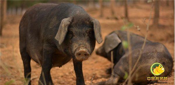 养猪人:看看你适合养猪吗?