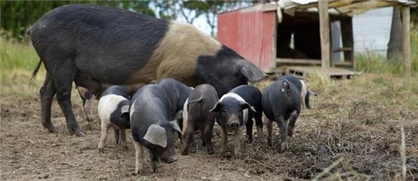 1、家庭养猪是大多数农民的致富之路。村头地边,随处可见大大小小的猪舍。
