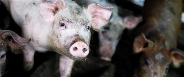 2、猪农说:现在生猪活毛三块七,达不到五块的价钱,养的越多赔的越大。玉米、豆饼等饲料价格上去了,可生猪价格却下来了,这让大部分猪农始料不及。