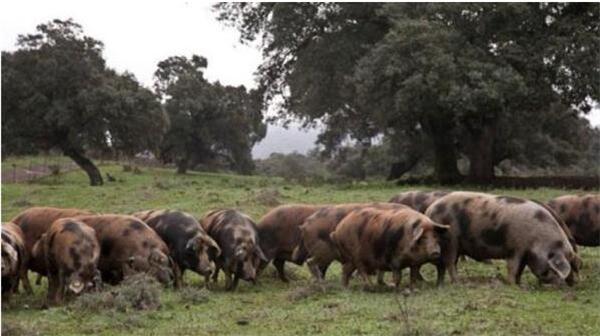 3、这里山清水秀,空气清新,植被丰富多样,是他理想的养猪之地。爱德华多选择养殖当地的一个新品种猪,因为生长缓慢被很多人放弃,但是这正是他想要的品种。