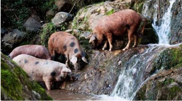 4、爱德华多把他的猪赶到了大自然里,这些猪整天在橡树林里游荡,吃着各种野生食物,喝着山泉水。这让他的猪生长特别缓慢,其他农民的猪要14-16个月就可出栏,而他的猪要3年才能达到标准。