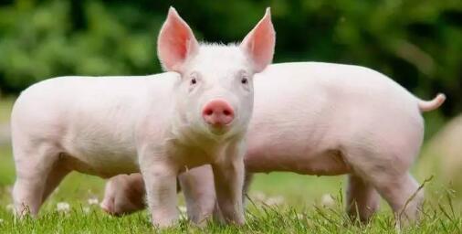 猪舍生产区的布局从上风向到下风向依此为种猪舍、产仔舍、保育舍、生长肥育舍和售猪观察舍。种猪舍包括种公猪舍和种母猪舍。