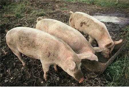 在治疗猪病的时候,这几种饲料可千万不能喂!