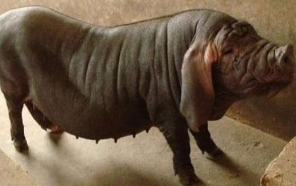 被禁止出口的国宝猪,肉质好但是长得丑?