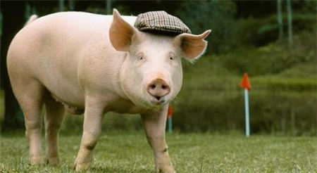每头猪的饲料成本将增80元 养猪将现明显亏损