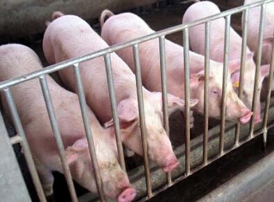 有猪就有江湖,仔猪掐架,千万要小心!