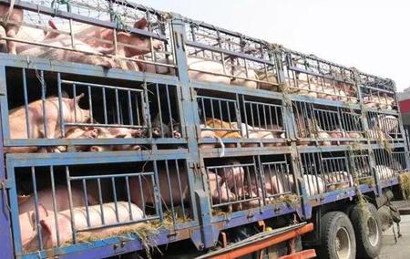 不得不看:5月2日起猪农卖猪、引种、生猪运输要注意了!