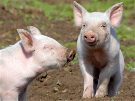 """春季猪呼吸道疾病""""大扫荡"""",对症治疗预防效果好!"""