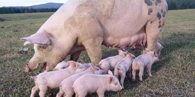 """养猪人只有进行产能淘汰才能熬过""""猪周期""""?"""