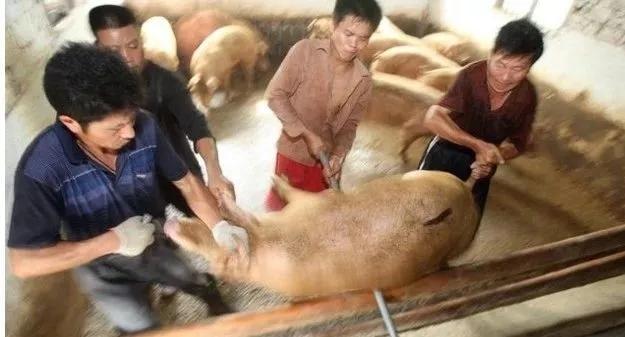猪友分享:养猪四年放弃了,把我的经验告诉你们!