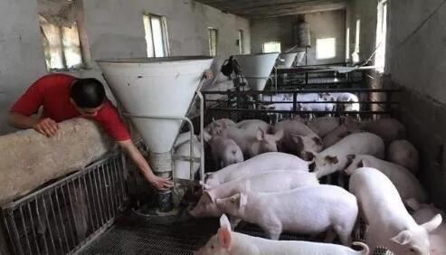 卖猪的骗局,又有多少养猪户上当了?