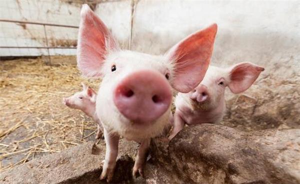 农村里面养猪,这5个土办法,能增加养猪人收入减少损失!