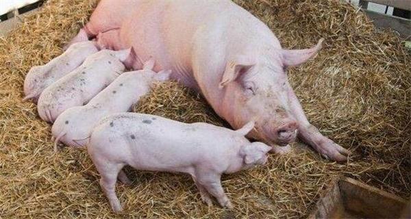 养猪的朋友,这才是赚钱的第一步!!!
