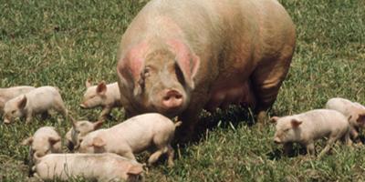 当前猪价回涨只是假象!后市预计仍将持续震荡格局不改?