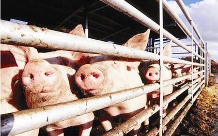 猪价暴跌,这个看似不相关的群体,也要负一定责任!