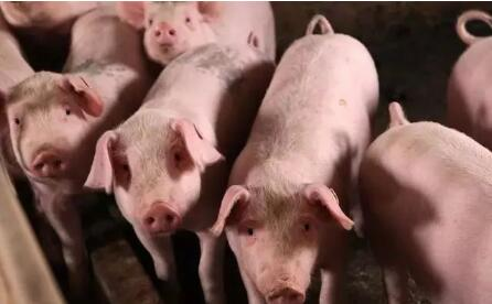 三大理由告诉你,现在猪价上涨就是个托?