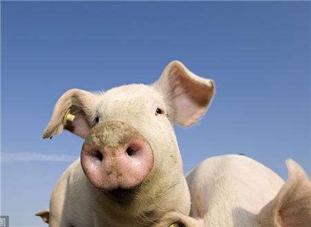 【养猪指南】猪喜欢吃什么口味的饲料?