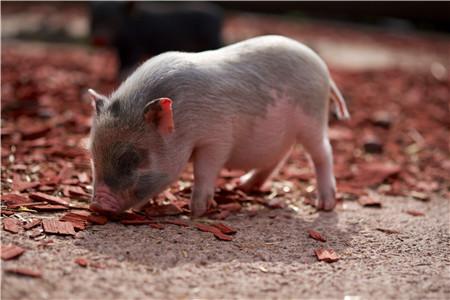 猪舍有了这些设备,养猪人也能进入放假模式!