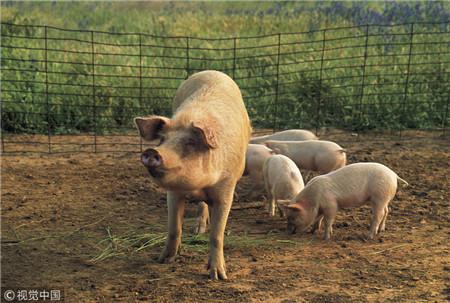 母猪窝产8头,生猪6个月200斤的养殖户,注意这三个点能改善!