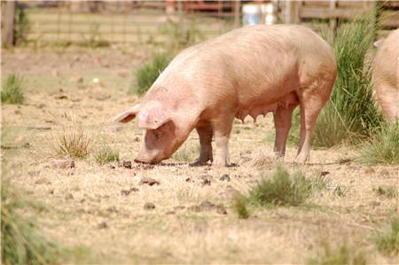 养猪场的驱虫如何操作?为什么驱虫没效果?