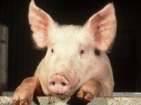 伪狂犬免疫无效?90%的人是因为用错的了滴鼻方法...