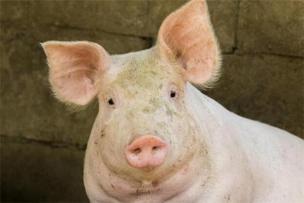 2018年,养猪有史以来最危险的一年!